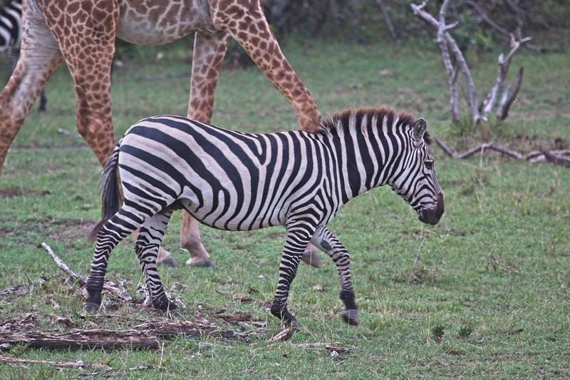 Common Zebra, Naboisho Conservancy