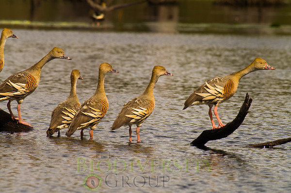 Anseriformes (Ducks and Geese)