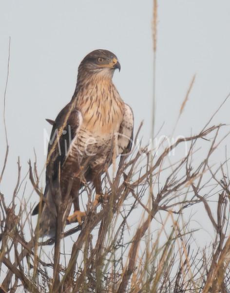 Ferruginous Hawk-113