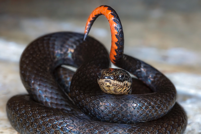 Ring-necked snake coiled with tail showing as a warning sign