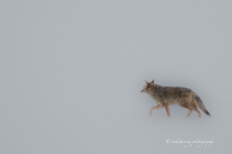 Coyote19winter-2110.jpg