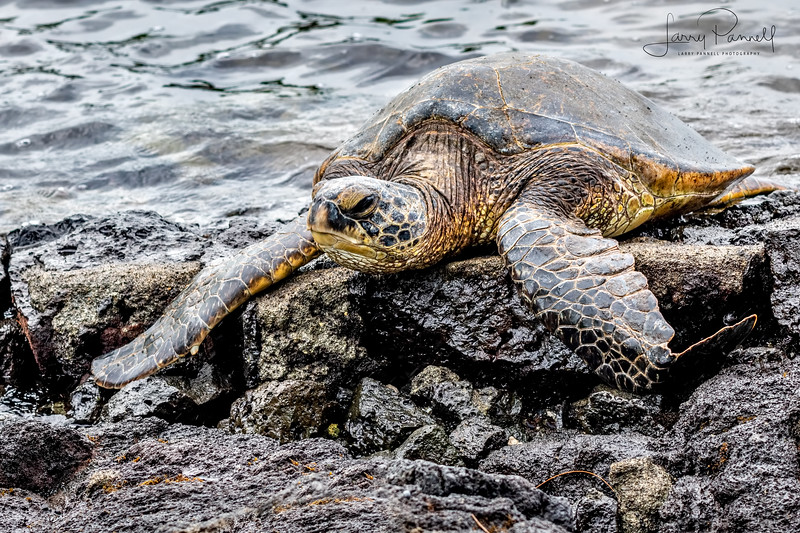 Green Sea Turtle - Hilo
