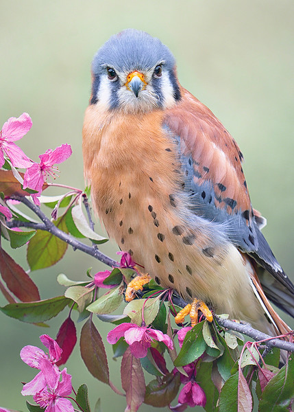 s5x7 Horus The Handsome Kestral With Flowers.jpg