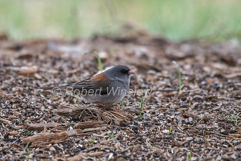 Gray-headed Junco, Dark-eyed Junco, Junco hyemalis, La Plata County, Colorado, USA, North America