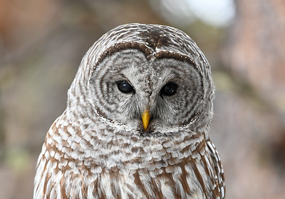 What a hoot, don't shoot!