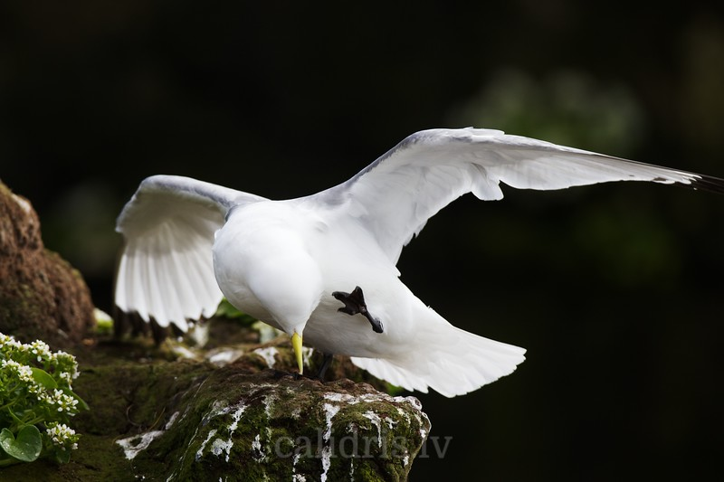 Black-legged kittiwake starches on a cliff
