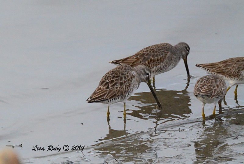 Dowitcher, one with bill out of the water is long-billed  - 12/19/2014 - Robb Field