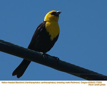 YellowHeadedBlackbirdM77855.jpg