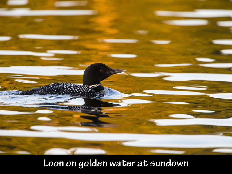 The Loons of Damariscotta Lake slides.014.jpg