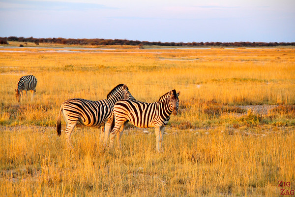 Zebras at sunset in Etosha National park, namibia