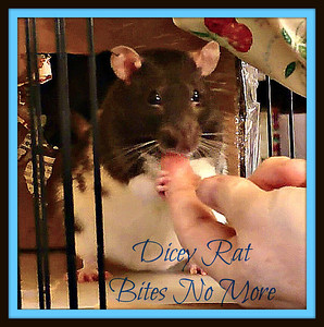 Dicey, Aggressive Rat No More