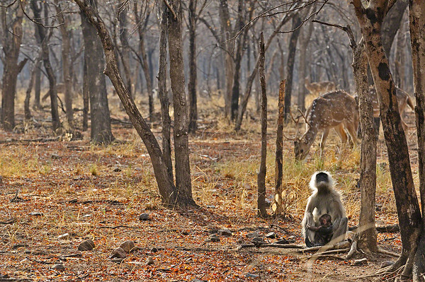Deer and monkey in Ranthambhore