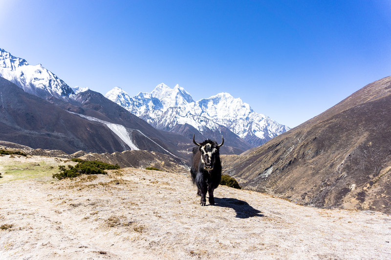Himalayan Yak  (2 of 2).jpg