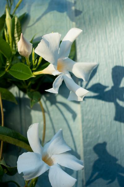 Mandeville Flowers