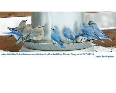MountainBluebirdsA69335.jpg