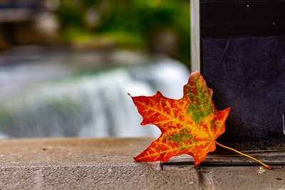 A Maple Leaf Signifies The Coming of Fall