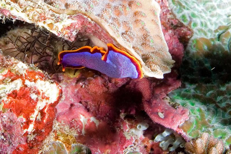 Fushia Flatworm.jpg