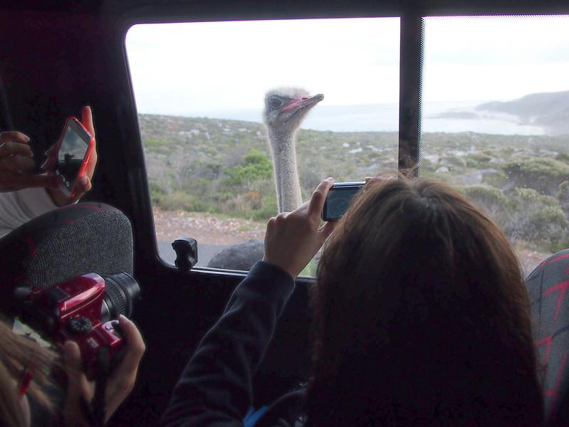 P5197311-curious-ostrich.JPG
