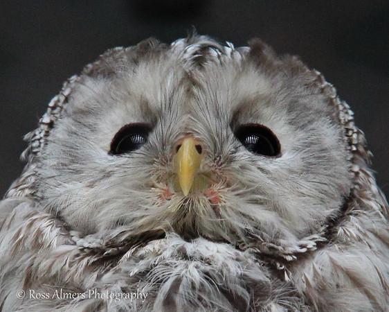 Beauty of Owls