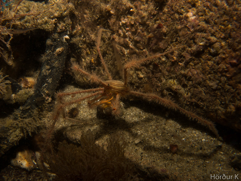 Panamic arrow crab