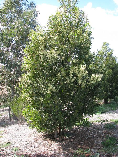 Acacia melanoxylon / Blackwood