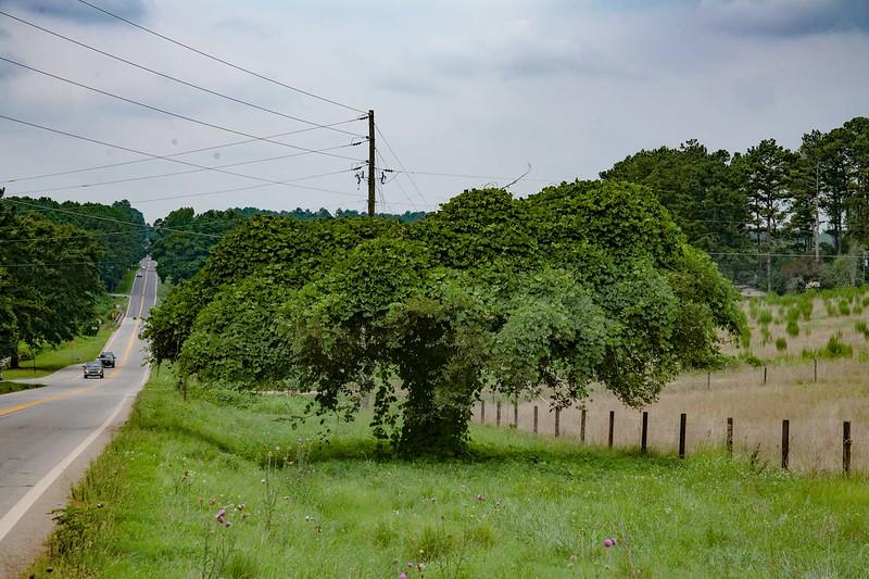 A tree covered in Kudzu south of Winder, Ga.