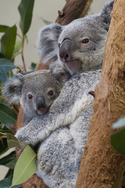 2008 Koala Encounter
