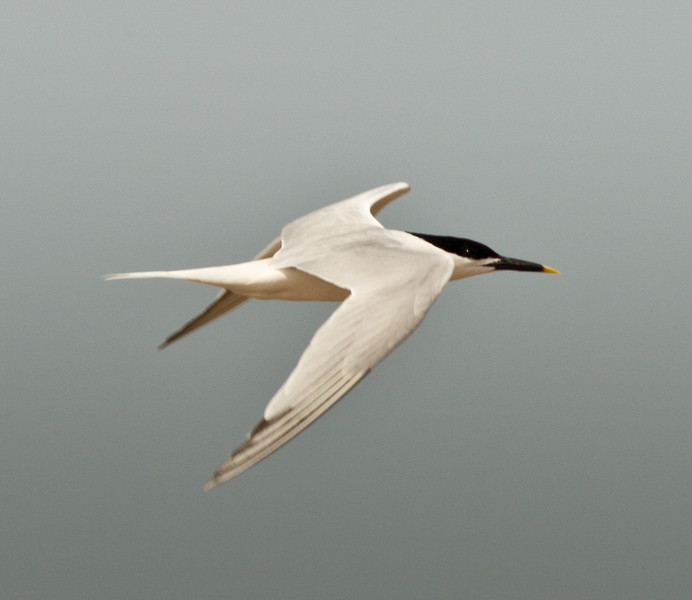 Sandwich Tern  South Padre Island Texas 2012 03 20-2346.CR2