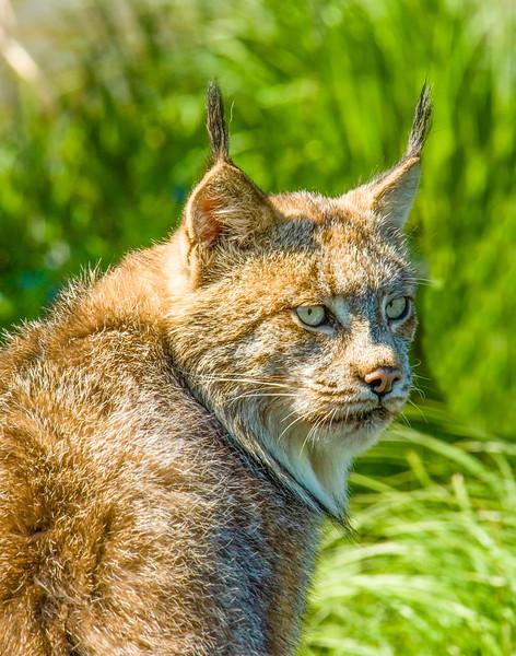 Lynx 1.jpg