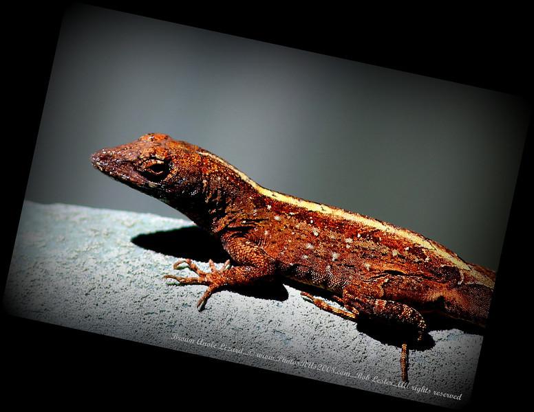 Brown Anole Lizard_IMG_7231__.JPG