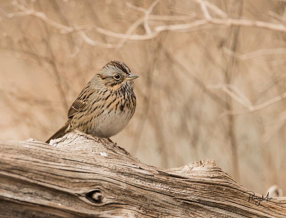 Lincoln Sparrow LL copy 2.jpg