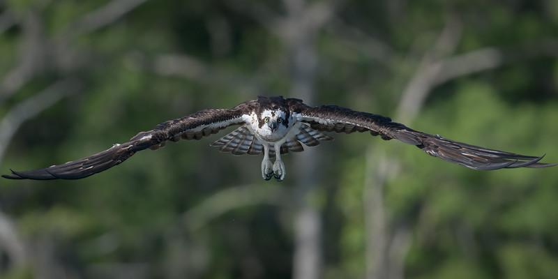 2021_KSMetz_Florida_Osprey Trip_April06_NIKON D5_0670-Edit.jpg