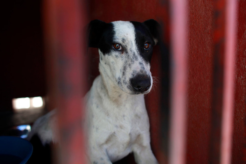 . One of the dogs that was caught near the site of four fatal maulings sits inside a cage at a city dog pound in Mexico City,Wednesday, Jan. 9, 2013. Authorities have captured dozens of dogs near the scene of the attacks in the capital\'s poor Iztapalapa district, but rather than calm residents, photos of the forlorn dogs brought a wave of sympathy for the animals, doubts about their involvement in the killings and debate about government handling of the stray dog problem. (AP Photo/Dario Lopez-Mills)