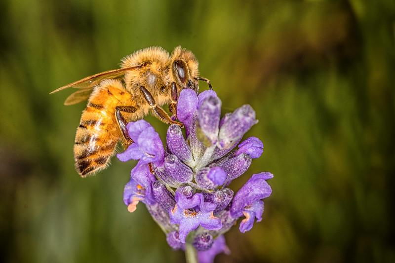 Lavender-7.jpg