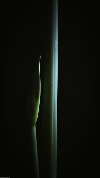 Amaryllis DSC_4797-Edit-1-2.jpg