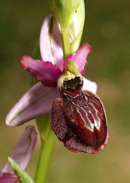 O. aveyronensis St. Rome-de-Cernon (28).jpg