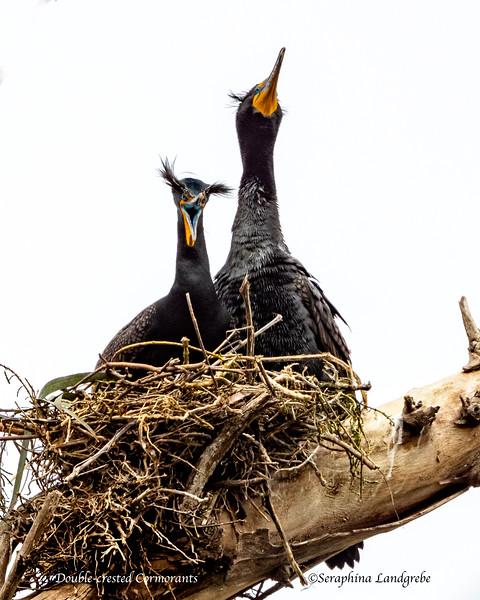 _DSC0286Dragon Double-crested Cormorant.jpg