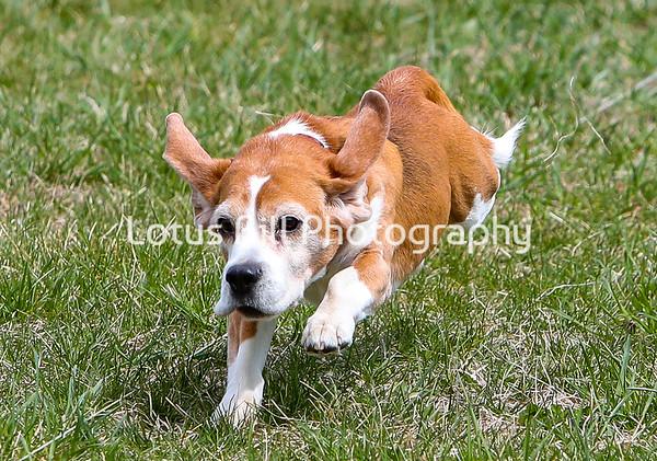 Beagle DH