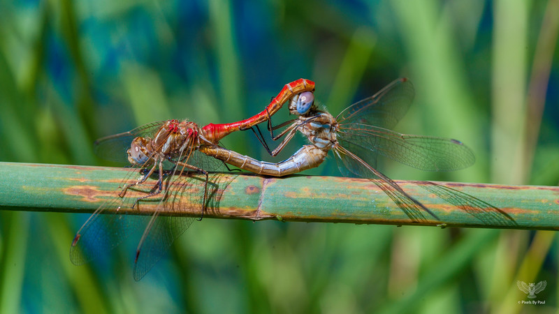 Meadowhawks Mating