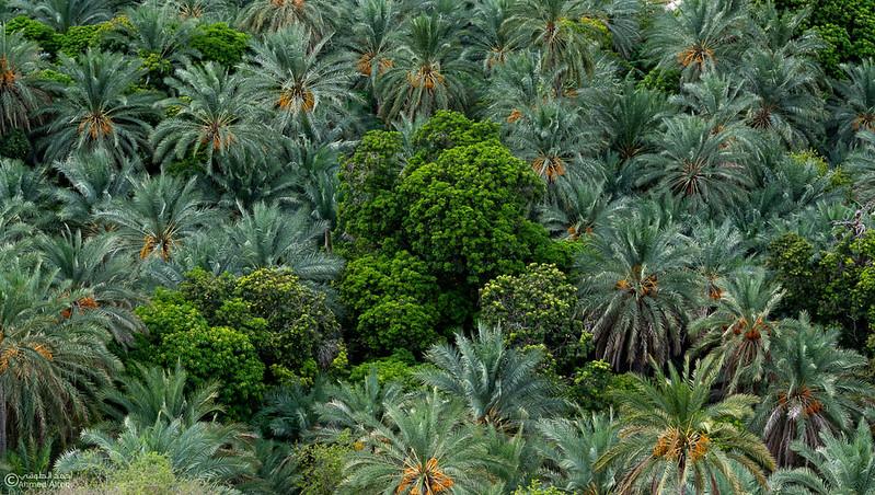 DSC00100 - Sur - Mibam -Date palm.jpg