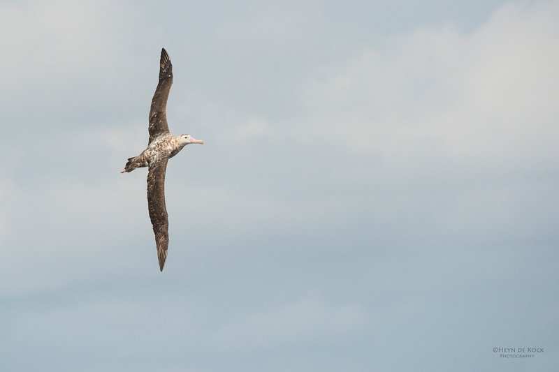 Antipodean Albatross, Wollongong, NSW, Aus, Oct 2013-2.jpg