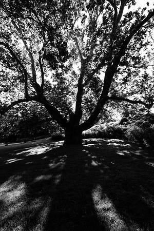 The Pinchod Tree