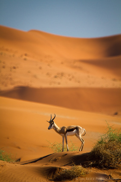 Springbok - a small species of antelope - in Sossusvlei, Namibia.