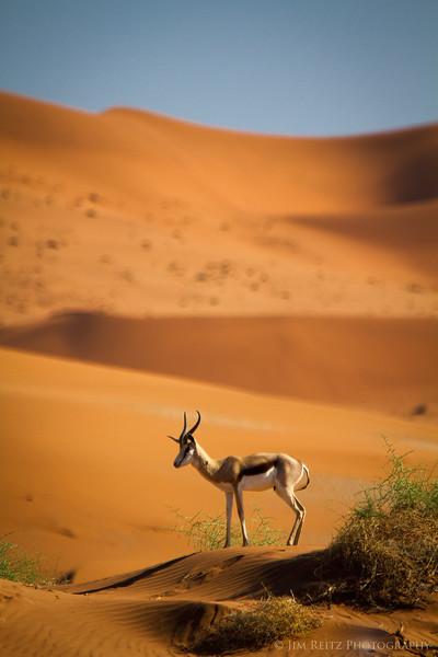 Springbok - a small species of antelope - in Sossusvlei, Namibia.