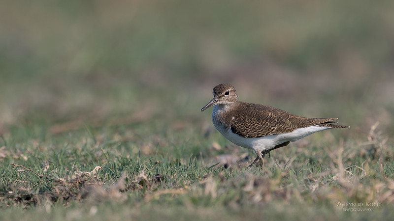 Common Sandpiper, Chobe River, NAM, Oct 2016-2.jpg