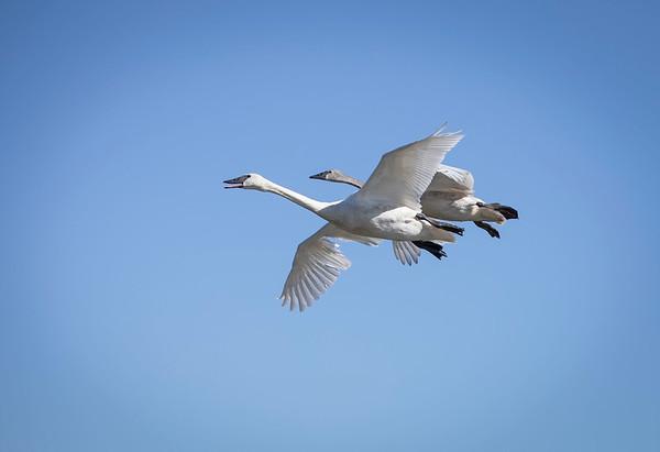 Swans at Heber Springs