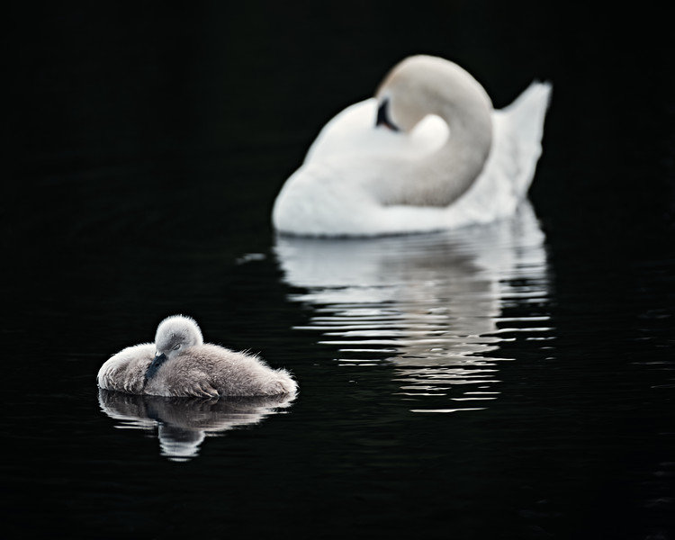 Swans_Of_Castletown010.jpg