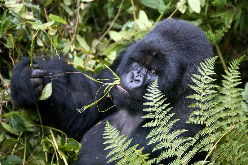Gorillas  8433.jpg