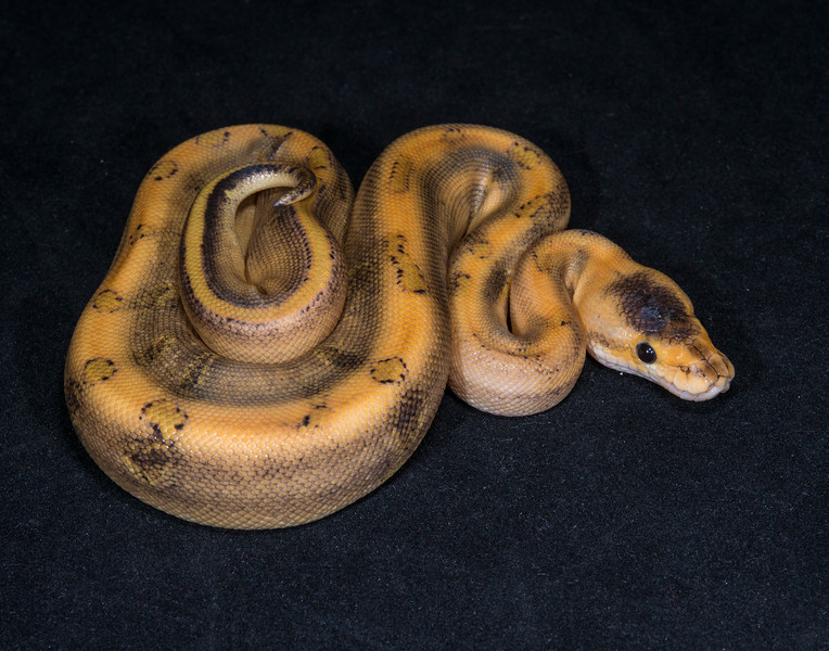 027FC16, female Champagne, sold HERPS OKC