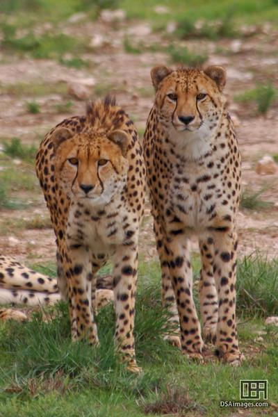 Cheetah at the Monarto Zoo